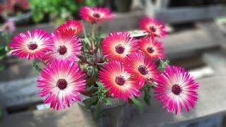 ХРУСТАЛЬНАЯ Ромашка🌺ПРИНЦЕССА НА ВАШЕЙ КЛУМБЕ цветет все лето