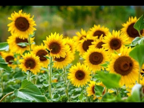 Sunflower Video | Flowers name for kids