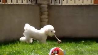 Bichon frise puppy , Djinn
