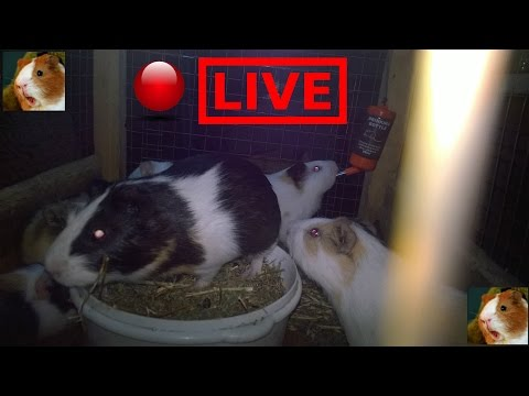 Animal Adventure Park 🔴 Guinea Pigs Cam - Chat LIVE 24\7 HD Stream
