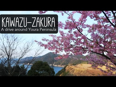 WINTER CHERRY BLOSSOMS - Youra Peninsula in Tsukumi, Oita