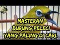 Masteran Burung Pleci  Mp3 - Mp4 Download