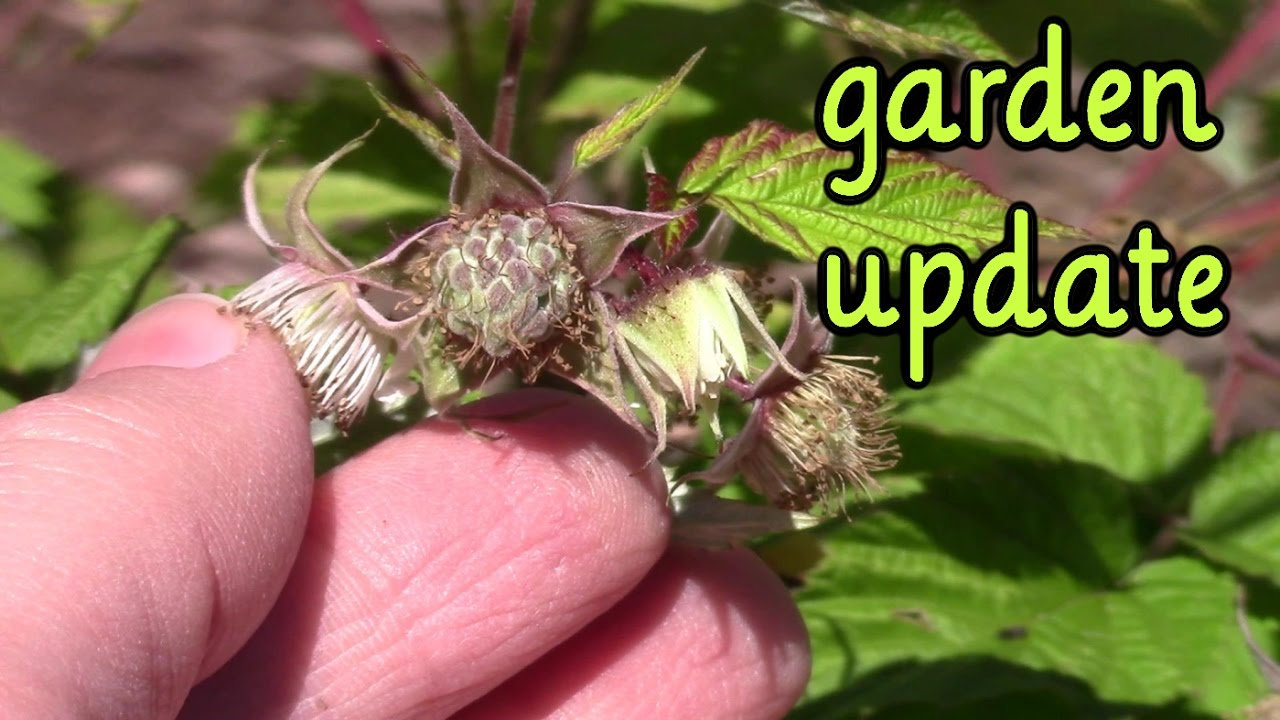 may garden update 2017 backyard veggie garden youtube