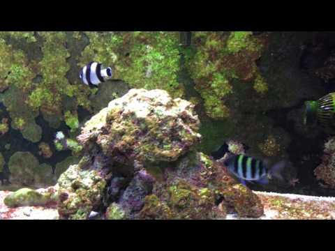 Damselfish Community Aquarium