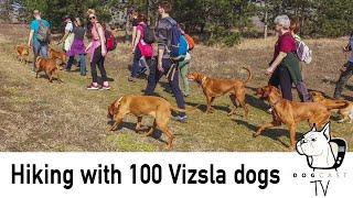 Hiking with 100 HUNGARIAN VIZSLA dogs!  DogcastTV!