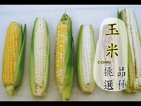【冬】玉米如何挑選才好吃