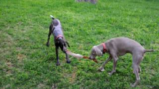 Weimaraner Vs German Short Haired Pointer Tug Of War Hd Video