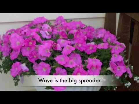 wave petunia care instructions