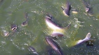 Naihati Fish Hatchery Process System - Eating Big Pangasius Fish