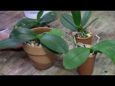 Orchids............magnesium Def In Phals