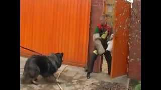 Кавказская самая сильная собака Caucasian Ovcharka(Кинологи СНГ признают, что кавказские и среднеазиатские овчарки- самые лучшие сторожевые собаки.., 2012-12-02T17:54:58.000Z)