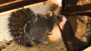 Animal Removal Birmingham - Squirrels
