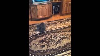 Кот бегает за своим хвостом