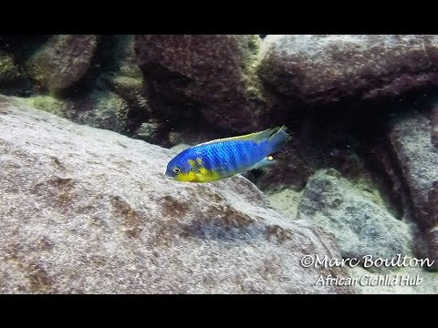 Mara Rocks Lake Malawi - African Cichlids - HD Underwater Footage