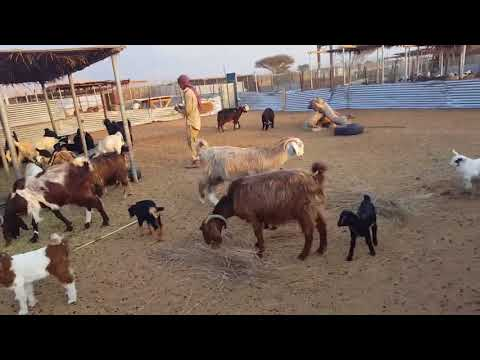 Al Ain livestock, Cattle form in Al Ain (United Arab Emirates)