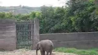 elefante africano bebe zoolgico matecaa de pereira