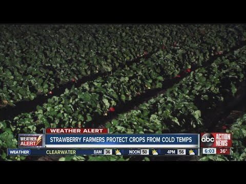 Strawberry growers protect crops from the cold