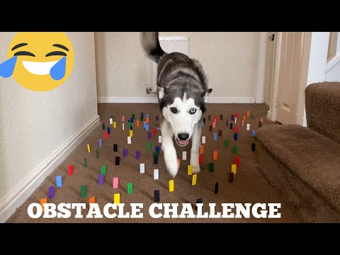 Huskies Hilarious Reaction To A Obstacle Course Challenge! [BEST REACTIONS EVERR!!]