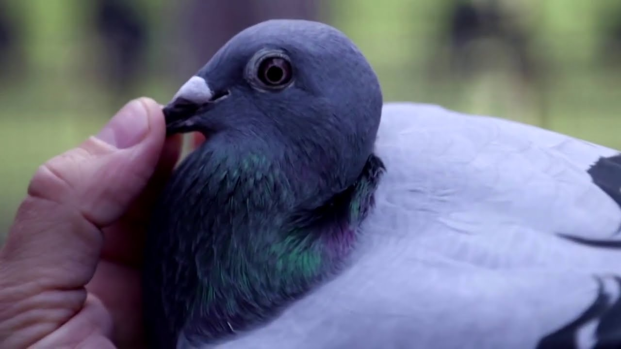 New Kim' racing pigeon sold for$1.9 million | Two-year-old racing pigeon  named 'New Kim' sold for record price of $1.9 million [WATCH] | Trending &  Viral News
