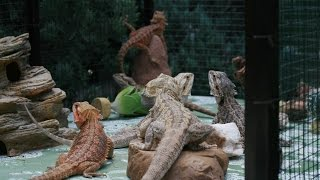 Bearded dragon outdoor feeding
