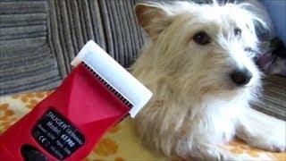 Стрижка собаки. Клещи и пироплазмоз. Как избежать болезни пироплазмоза