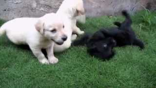 Labrador Puppies Playing (cute!) - Dogs And Puppies