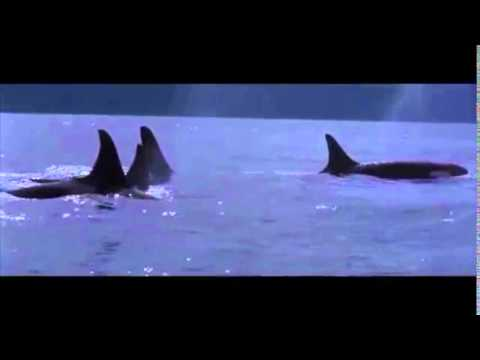 Killer Whale Communication