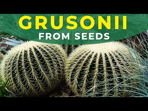 HOW TO GROW ECHINOCACTUS GRUSONII FROM SEEDS? | Barrel cactus propagation