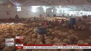 10 tysięcy zagłodzonych indyków (Raport z Polski TVP Info, 14.06.2013)