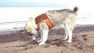 Alaskan Malamute アラスカンマラミュート 銀 山中湖で遊ぶ! 第二弾!...