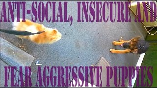 Anti-social, Insecure And Fear Aggressive Puppies