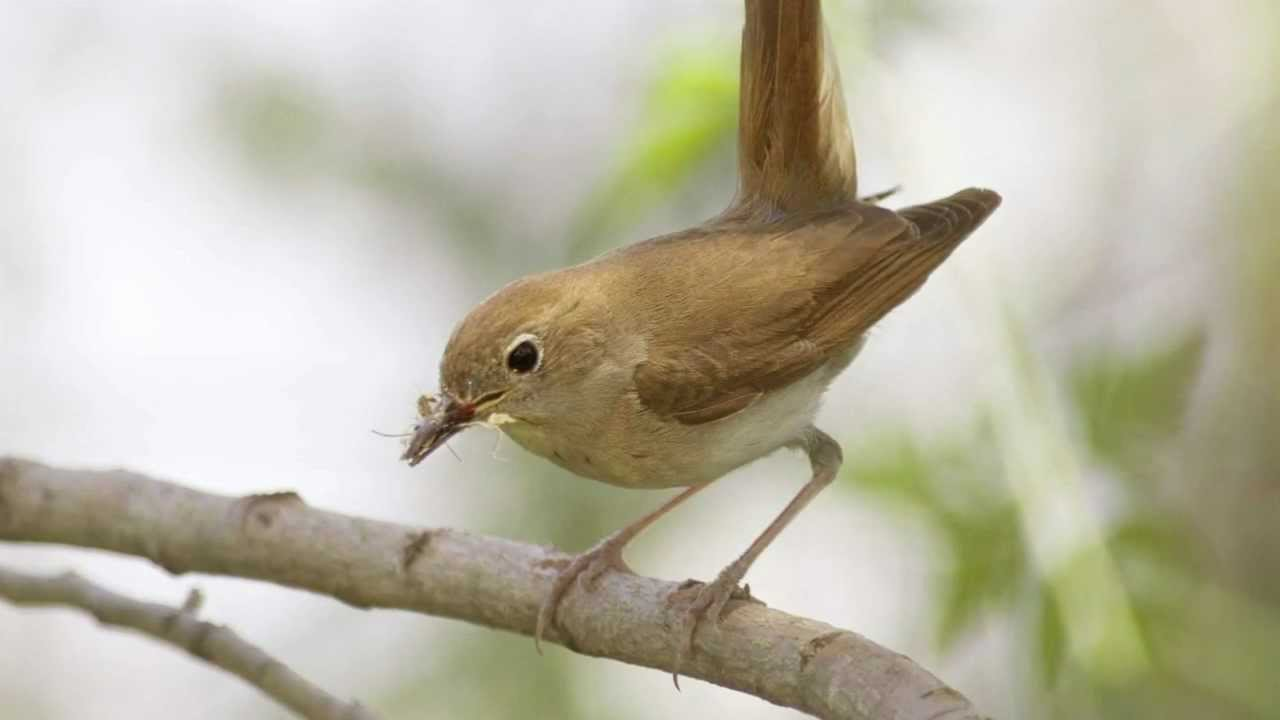 Bto Bird Id Nightingale And Other