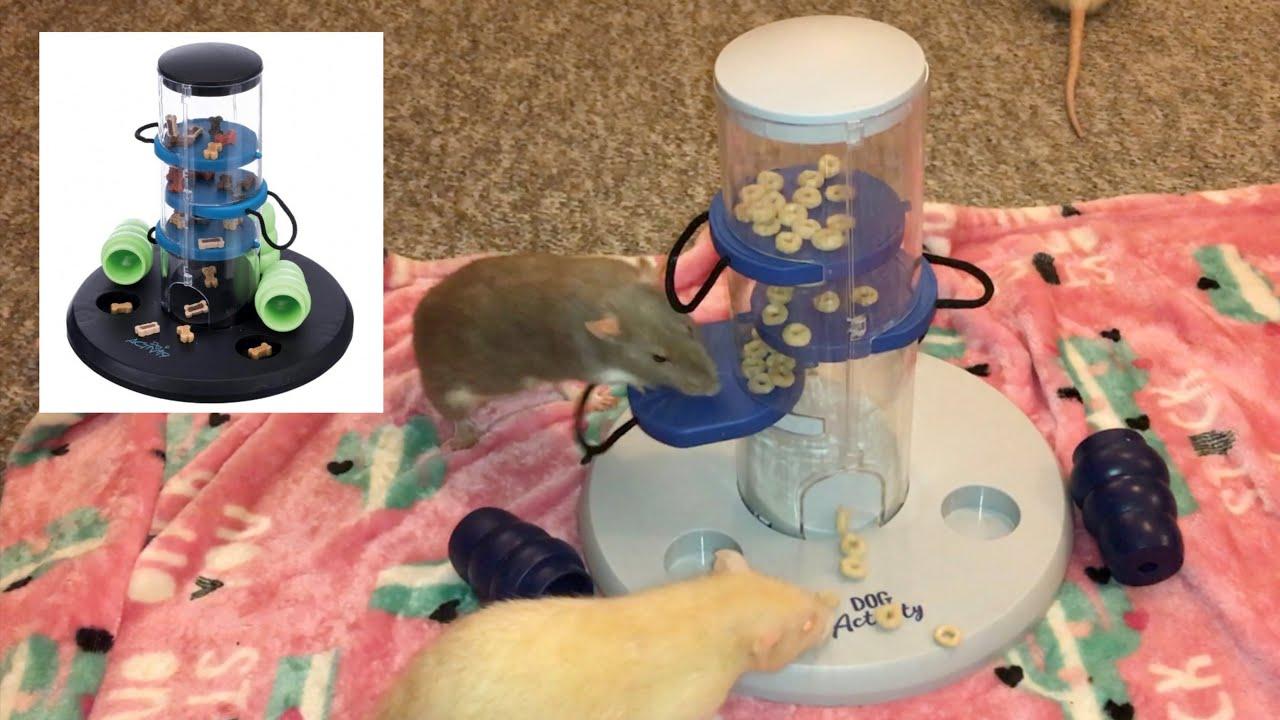 Rat Foraging Friday #21