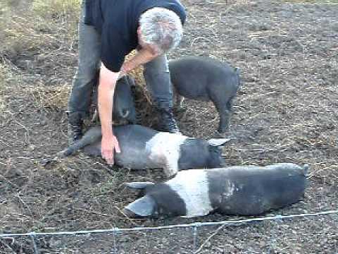 Happy Saddleback pigs