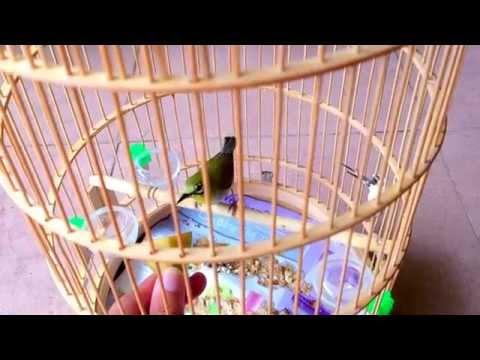 Chim vành khuyên bổi mua ngày 11/3/2015 ( 22 ngày nuôi lồng)