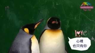 國王企鵝大玩配對遊戲 嘟胖 尚未成年只能見習 King Penguin Is Pairing