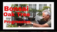 How to bonsai an Oak tree Part 3