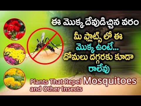 7-mosquito-repelling-plants-you-need-  -natural-ways-to-get-rid-of-mosquitoes-in-your-home