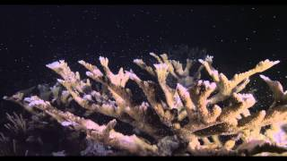Elkhorn Coral Spawning in Dry Tortugas National Park
