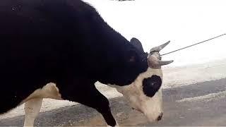 #Покупка, новой коровы, пополнение в хозяйстве.