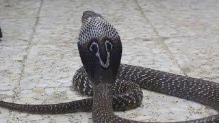 Gambar cover Cobra de Anteojos, Cobra India (Naja naja) - Común, pero una verdadera belleza binocelada ☠