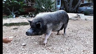 Cute Wild Pig, Camp Strasko, Novalja, Pag, Croatia from Travel with Iva Jasperson