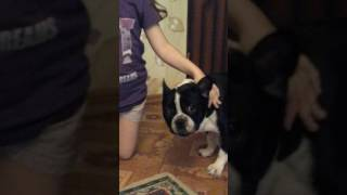 Собака  Вольт