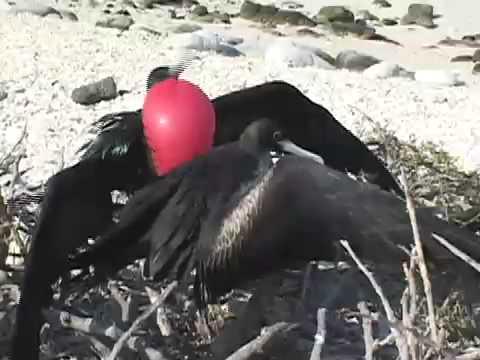 Mating Frigatebirds