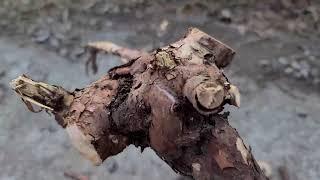 신경통, 관절염엔 이 뿌리가 매우 좋다~!! 당뇨합병증…