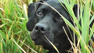 America's Sweethearts — Labrador Retrievers