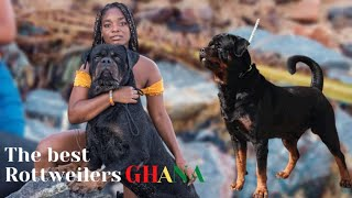 THE BEST ROTTWEILER(dog breed) IN GHANA LIVES IN KASOA|Haus of Vigilio Rottweilers