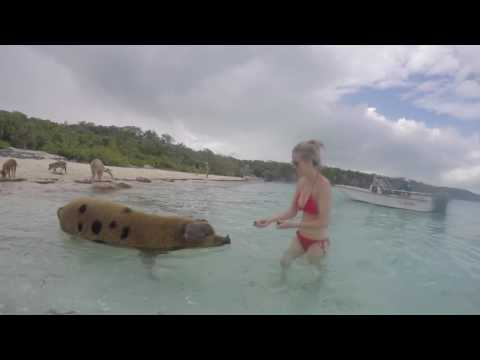 Swimming with wild pigs