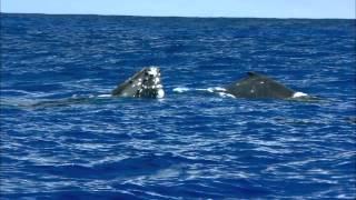 警戒心の薄い親子クジラが伊藤さんの姿を興味深げに眺めているような光...