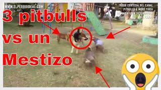 3 pitbulls Mestizos vs un mestizo de pastor alemán Habilidades Sociales